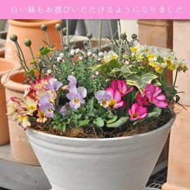 専門店の寄せ植え【ワンランク上】選べる雰囲気寄植え硬質プラ鉢8号送料無料