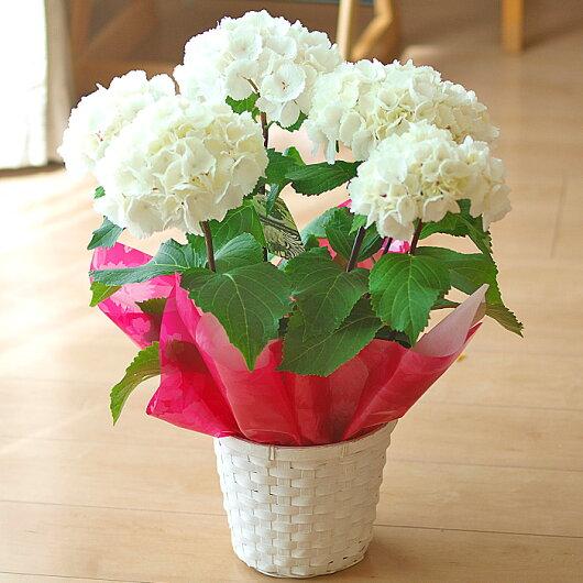 【母の日】アジサイ「ゼブラ」鉢花【メッセージカード】