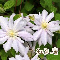 クレマチス【苗】パテンス紅孔雀白・緑系