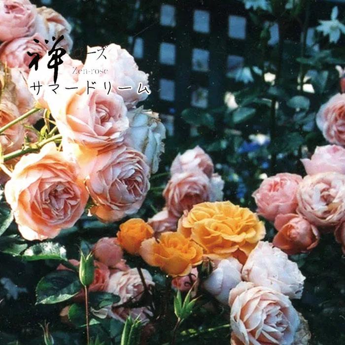 【バラ苗】 禅ローズ サマー ドリーム 大苗 7号鉢 ピンク系 CL【2018・2019年予約・バラ以外の商品と同梱不可】