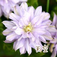 クレマチス【苗】パテンス天空青・紫系八重系