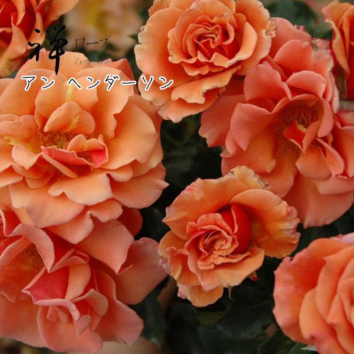 【バラ苗】禅ローズ アン ヘンダーソン 大苗 7号鉢 オレンジ系 FL【2018・2019年予約・バラ以外の商品と同梱不可】