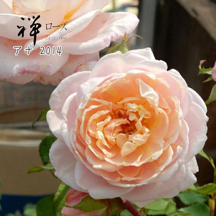 【バラ苗】 禅ローズ アナ2014 大苗 7号鉢 ピンク FL 【2018・2019年予約・バラ以外の商品と同梱不可】