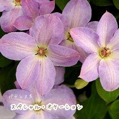 クレマチス【苗】パテンススペシャル・オケイションピンク系