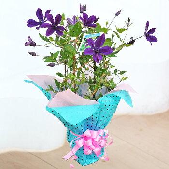 【母の日】クレマチスアフロディーテ鉢花【メッセージカード】