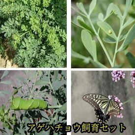 アゲハチョウ飼育(卵・アゲハ草)セット【予約販売】【納期指定不可】