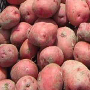 じゃがいも 種芋 アンデスレッド 種芋 ジャガイモ じゃがいもの種 1kg【検査合格済】【サイズ混合】【春植え・秋植えジャガイモ】【他のジャガイモの種なら同梱可能】