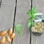 アピオスの苗野菜苗インディアンのスタミナの源と言われる