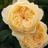 新品種旋律薔薇バラ苗京阪ローズF&G6号鉢ピンク花