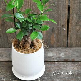ガジュマル 陶器鉢植え 4号鉢 おすすめ!