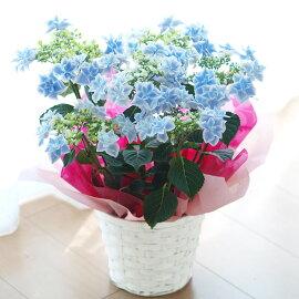 【送料無料】アジサイ「銀河」鉢花【メッセージカード】【お届けは5月】【母の日ギフト】
