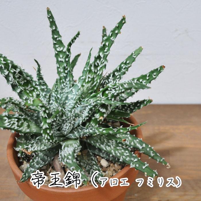 【観葉植物】【多肉植物】帝王錦(アロエ フミリス)