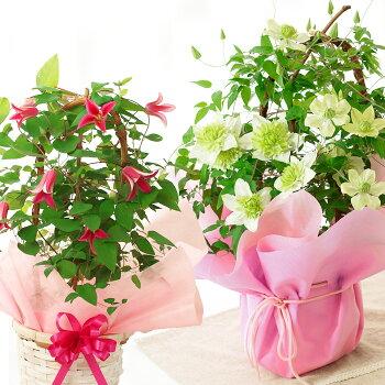 クレマチス2品種MIX鉢花【母の日ギフト】