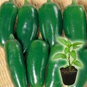 野菜苗トウガラシハラペーニョ実生苗
