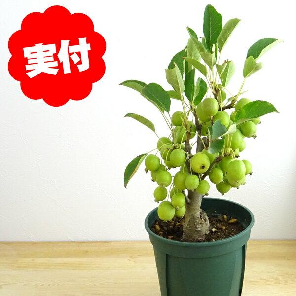 姫りんご ヒメリンゴ 実終わり【盆栽 bonsai 盆栽 果樹】花あり!実なし!