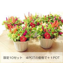 【大特価!】ケイトウ「キモノシリーズ」MIX4POT10.5センチPOT今だけ+1POT限定10セット!!