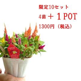 【大特価!】ケイトウMIX4POT10.5センチPOT今だけ+1POT