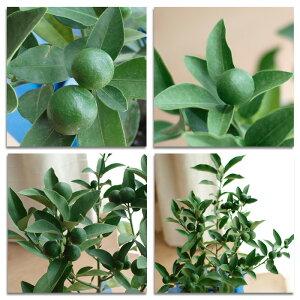 【大特価!】金柑実付 5号鉢 きんかん キンカン おすすめ!鉢植え 苗