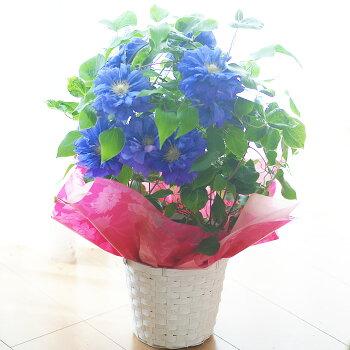 クレマチスキリテカナワ鉢花【母の日ギフト】