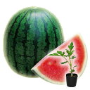 2021年予約野菜苗 スイカ ピノガール 小玉 種が小さい品種 接木苗 1POT 【母の日ギフト対応不可】【納期指定不可】【プレゼントにもし…