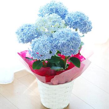 アジサイ万華鏡鉢花【早期予約受付】