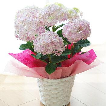 アジサイ万華鏡ピンク鉢花【早期予約受付】