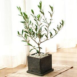 平和のシンボルオリーブの鉢植え【観葉】【ギフト】【自分用】