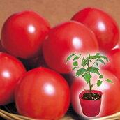 野菜苗トマトパルト接木苗