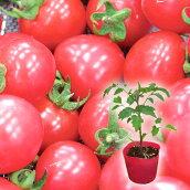 野菜苗ミニトマトピンキー実生苗