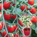 野菜苗 トマト ロッソナポリタン 苗 1POT【2019年予約苗】【納期指定不可】