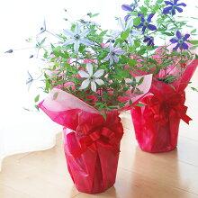 【母の日】クレマチスビクターヒューゴ鉢花【メッセージカード】