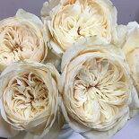 新品種しらたま薔薇バラ苗京阪ローズF&G6号鉢白花