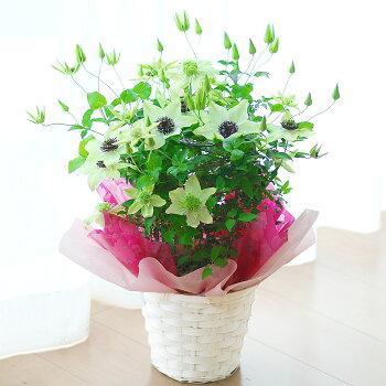 【送料無料】クレマチス2品種ミックス鉢花【メッセージカード】【お届けは5月】【母の日ギフト】