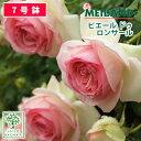 予約苗 バラ苗 メイアン ピエール ドゥ ロンサール 大苗 7号鉢 ピンク系 CL 薔薇苗 ばら苗 鉢植え【2020・2021年予約・バラ以外の商品…