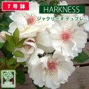 予約苗 バラ苗 ハークネス ジャクリーヌ デュプレ 大苗 7号鉢 白系 CL 薔薇苗 ばら苗 鉢植え【2020・2021年予約・バラ以外の商品と同梱…