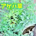 【発送中】アゲハチョウの餌 アゲハソウ 蝶 飼育1POT【1000POT以上の出荷実績!!】蝶のエサ ちょうのエサ アゲハの草 アゲハ草 観察用…
