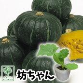 野菜苗カボチャ坊ちゃんかぼちゃ苗