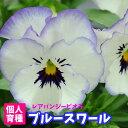【超早期予約苗】ビオラ ブルースワール 1POT 残りわずか 個人育種 育種家ビオラ 冬の花壇苗