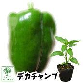 野菜苗ピーマンジャンボピーマンデカチャンプ苗