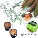 フィンガーライム苗 2品種セット ブラウン グリーン 12cmPOT+今だけ!!おまけ(キンカン)