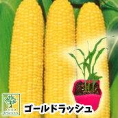 野菜苗トウモロコシトウモロコシゴールドラッシュ苗