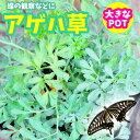 アゲハチョウの餌 アゲハソウ アゲハ蝶 飼育 大きめPOT 元祖アゲハ草のお店 観察に