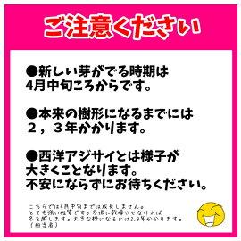 アジサイ苗ピンクアナベル2アメリカアジサイ珍しいピンク改良アナベル