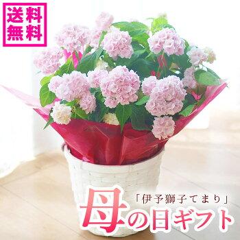 山アジサイ獅子テマリ鉢花【お届けは母の日ウィーク】【母の日ギフト】