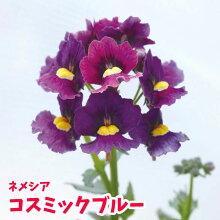 【多年草】ハルディンネメシアメロウコスミックブルー