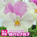 【超早期予約苗】ビオラ 桃のときめき 1POT 残りわずか 個人育種 育種家ビオラ 冬の花壇苗