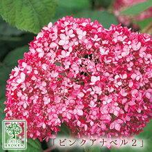 ピンクアナベル2アメリカアジサイ珍しいピンク改良アナベル10.5cmPOT【落葉中】