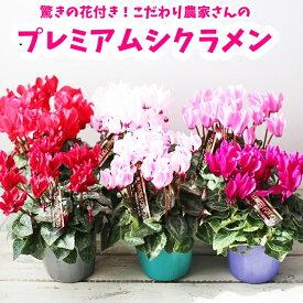 予約苗 プレミアム ガーデンシクラメン 選べるカラー 【花苗】寄せ植え 庭植え ギフトなどにも 2020年予約苗 お届け予定は11月から12月ごろ