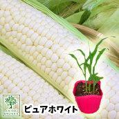 野菜苗トウモロコシスイートコーンピュアホワイト実生苗