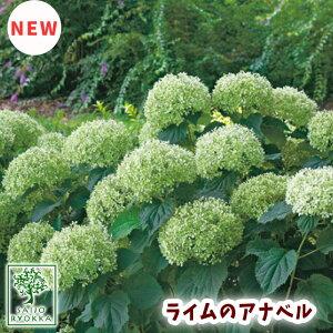 ライムのアナベル アメリカアジサイ 15cmPOT 最新品種!!